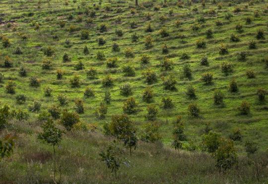 Los aguacates de AngloGold dividen a Cajamarca